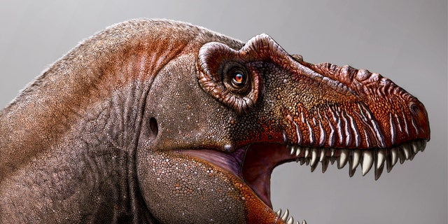 A new species of tyrannosaurus was found in Canada.