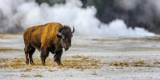 Woman injured in Yellowstone after approaching bison