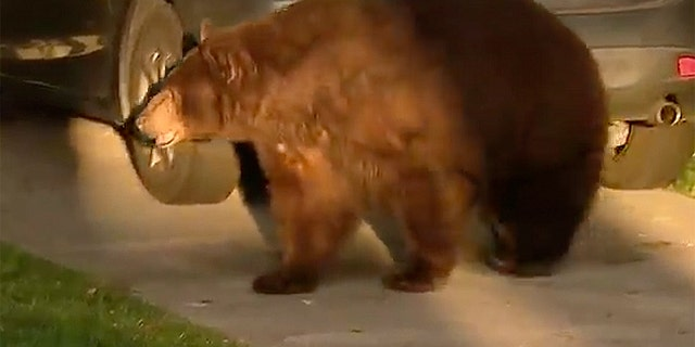 Bear takes slow stroll among surburban California properties before being captured