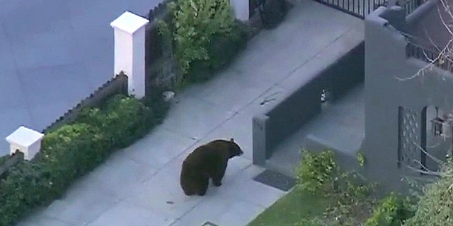 The large black bear was spotted on North Mayflower Avenue about 2.30 a.m. local time. At one point the bear could be seen squaring up to a large dog barking behind a gate, but it eventually lost interest.