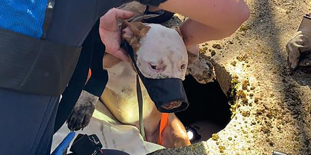 The pit bull was safely reunited with its owner.
