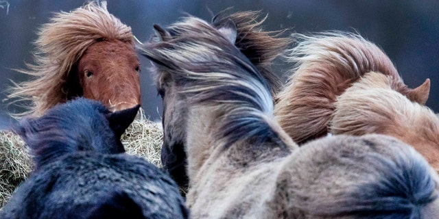 Iceland horses stand together in a strong storm in their stud in Wehrheim near Frankfurt, Germany, Sunday, Feb. 9, 2020.