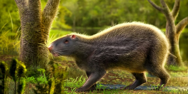 A giant prehistoric rat as big as a human that lived in the Amazon rainforest 10 million years ago has been unearthed by scientists. (Credit: SWNS)