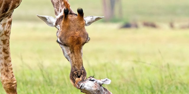 Image result for adorable giraffe pic