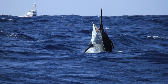 Westlake Legal Group iStock-1037043750 Kayak fisherman hooks 500-pound marlin, results in 6-hour battle fox-news/great-outdoors/fishing fox news fnc/great-outdoors fnc eb9f44b5-7665-540f-bcf0-8182e98e0554 article Alexandra Deabler