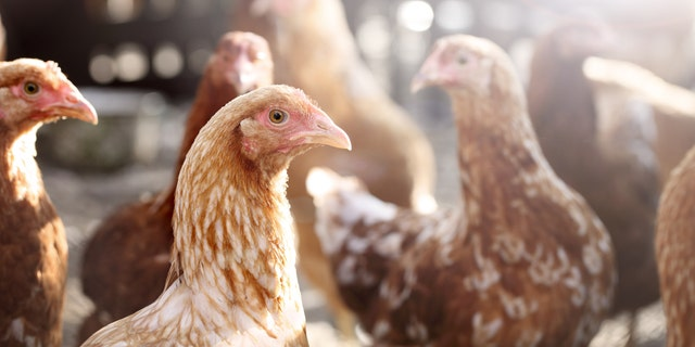 The outbreak of bird flu was reported at a farm near the epicenter of the coronavirus outbreak in China. (iStock)