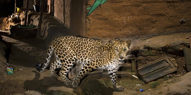 This amazing picture of a leopard was captured by a photographer on the edge of Mumbai, India.