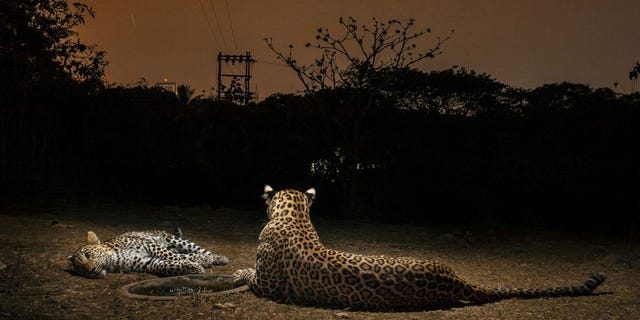 Another image of a leopard and cub on the outskirts of Mumbai, India. (SWNS)