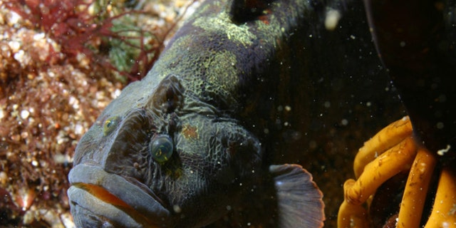 The Cebidichthys violaceus, known as the monkeyface prickleback, grows to as much as three feet long and six pounds in weight. (Credit: NOAA/MBARI / Public domain)