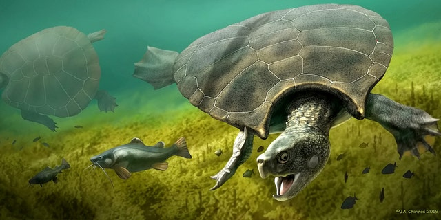 This is a graphic reconstruction of the giant turtle Stupendemys geographicus: male (front) and female individual (left) swimming in freshwater. The biggest turtle ever to have lived weighing more than a ton with an eight-foot long shell roamed modern-day Colombia 10 million years ago. (Credit: SWNS)