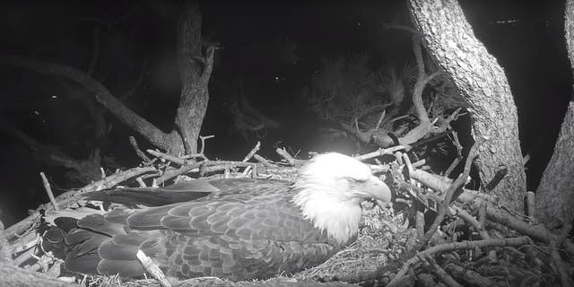 A Livestream taken of the birds on Sunday night showed Jackie still patiently resting on her eggs.