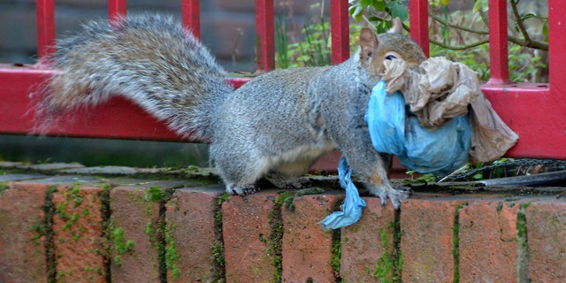 These pictures are believed to be the first evidence of a new phenomenon - of squirrels using plastic bags to build a nest. (Credit: SWNS)