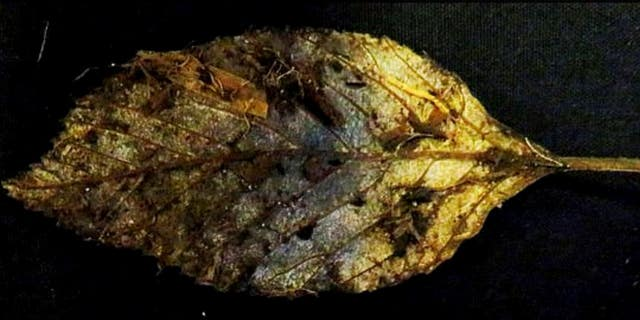 A perfectly well-preserved leaves(see above), fell from an elm 6,000 years ago have been found intact.