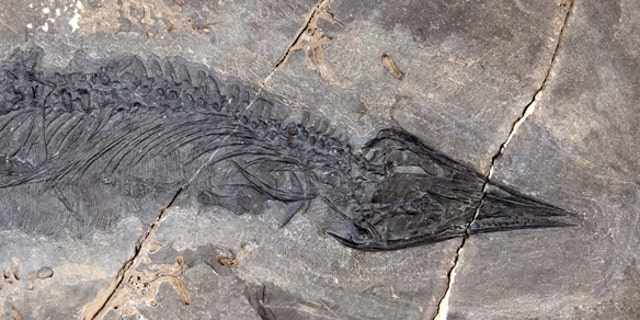 This fossil of Gunakadeit joseeae was found in Southeast Alaska. About two-thirds of the tail had already eroded away when the fossil was discovered. (Credit: University of Alaska Museum of the North)