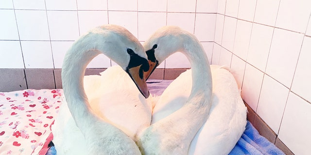 This is the moment two swans in a rescue center bowed their heads together – and their necks perfectly formed the shape of a love heart. (Credit: SWNS)