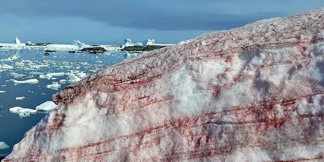 Scientists have photographed amazing images of 'watermelon snow' in Antarctica.