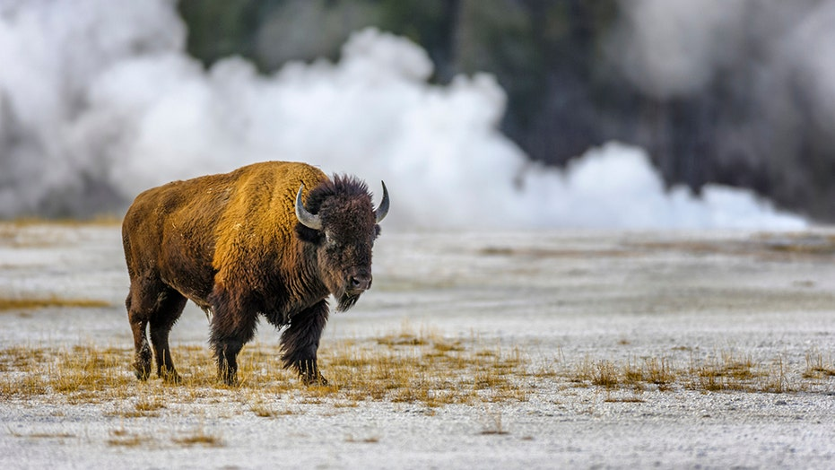 Fox Nation's PARK'D goes to Yellowstone National Park