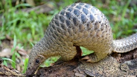 Pangolins can carry coronavirus-related strains, scientists say