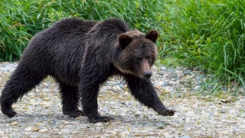 Grizzly mauling near Yellowstone kills backcountry guide
