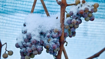 Warm winter ruins German ice wine harvest for first time in recorded history