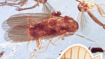 'Exquisite' dinosaur-age cockroaches discovered preserved in amber