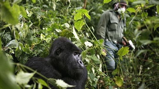Africa's mountain gorillas face coronavirus risk