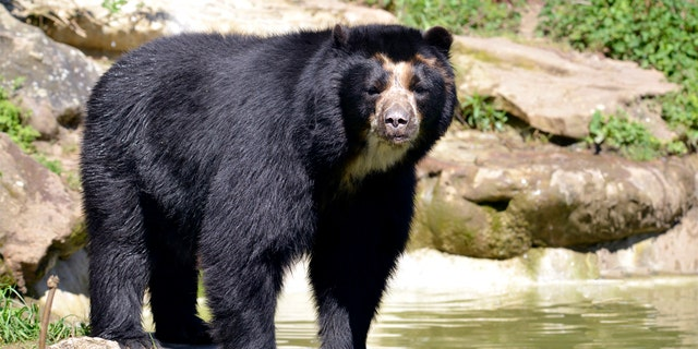 Andean bear (Tremarctos ornatus) standing near pond, also known as the spectacled bear - file photo (iStock)