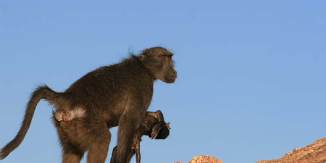 A Namibian chacma baboon with a dead infant.