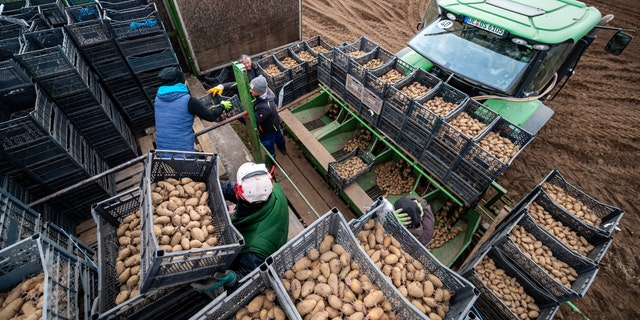 Workers fill a planter with early potatoes of the Annabelle variety in Germany.聽