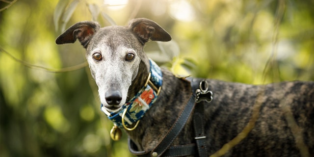 The coronavirus pandemic has forced Florida racing tracks to close, and 1,500 greyhounds are now looking for homes.(iStock)