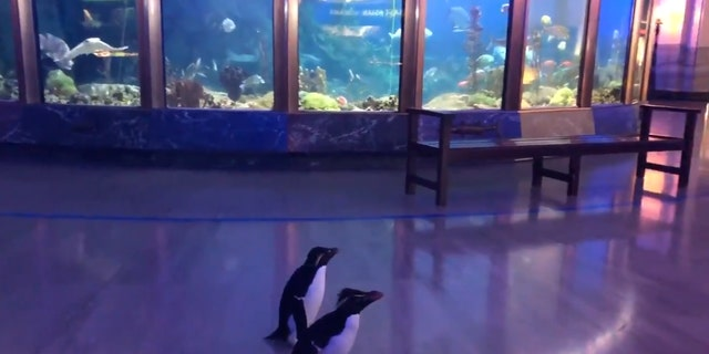 """""""Without guests in the building, caretakers are getting creative in how they provide enrichment to animals – introducing new experiences, activities, foods and more to keep them active, encourage them to explore, problem-solve and express natural behaviors,"""" the aquarium confirmed in a statement to Fox News."""