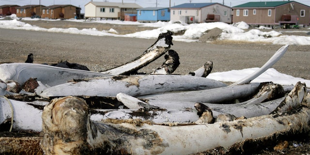 FILE - In this Oct. 13, 2006, file photo, whale bones from past hunts sit in the village Point Hope, Alaska.聽 (AP Photo/Al Grillo, File)