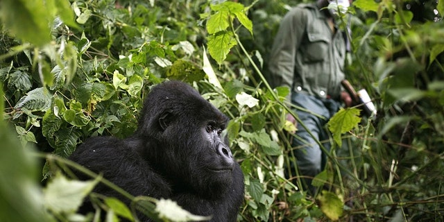 """In this photo taken Dec. 11 2012, a park ranger wearing a mask walks past a mountain gorilla in the Virunga National Park in eastern Congo. Congo's Virunga National Park, home to about a third of the world's mountain gorillas, has barred visitors until June 1 2020, citing """"advice from scientific experts indicating that primates, including mountain gorillas, are likely susceptible to complications arising from the COVID-19 virus."""" (AP Photo/Jerome Delay)"""