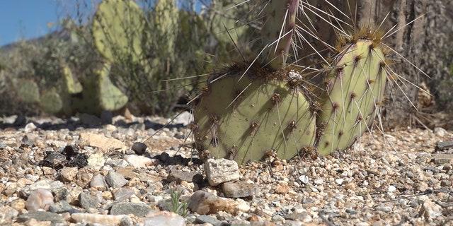 Saguaro National Park. (Stephanie Bennett/Fox News).