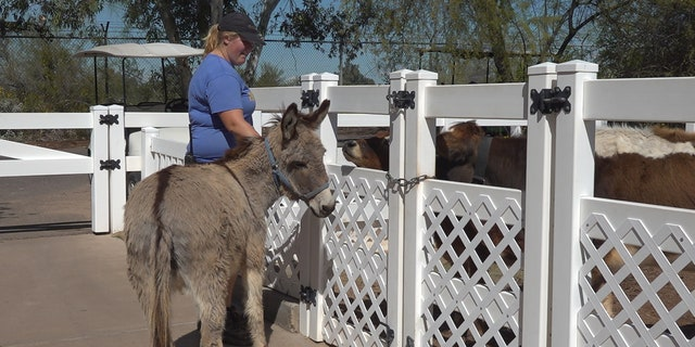 Zoo keepers are taking animals like Dinky the Donkey on walks to keep their minds and bodies active (Stephanie Bennett/Fox News).