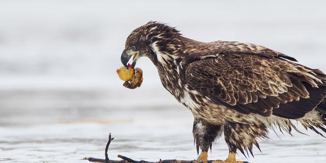 The immature bald eagle was seen swooping down to pick up the duck at the weekend before trying to take a bite out of it and tossing it away. (Credit: SWNS)