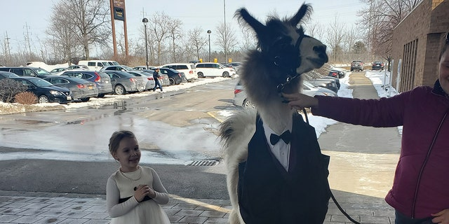 Five years ago, Mendl Weinstock was driving with his sister, Riva, to Indiana from their home in Ohio when he came up with the llama wedding guest idea.