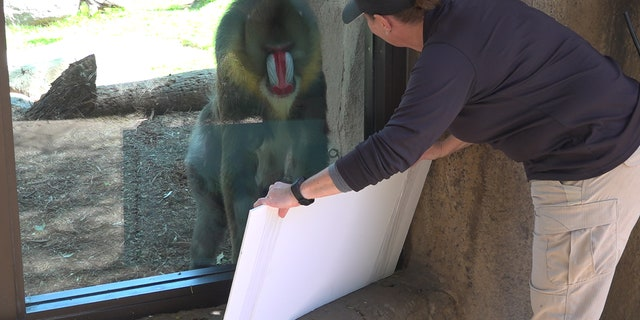 Staff at the Phoenix Zoo entertaining the Mandrills (Stephanie Bennett/ Fox News).