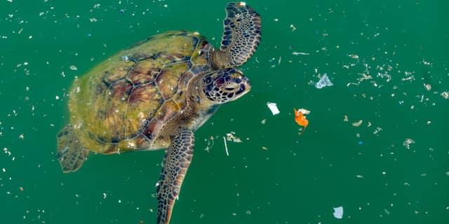 Turtles eat plastic because it smells like food, scientists find