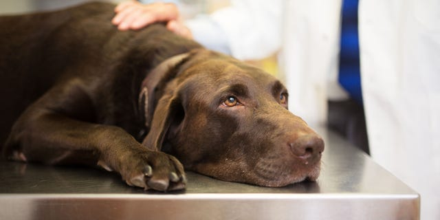 """The American Veterinary Medical Association iscurrently advising,""""If you are not ill with COVID-19, you can interact with your petas you normally do."""""""