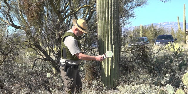 Chief Ranger at Saguaro National Park Ray O'Neil tests cactus for the pit tagging device. (Stephanie Bennett/Fox News).
