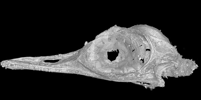 A CT scan of the skull of Oculudentavis by LI Gang, Oculudentavis means eye-tooth-bird, so named for its distinctive features. (Credit: Lars Schmitz)