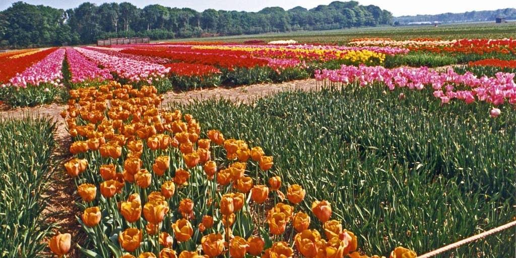 New Jersey Officials Order Drive Thru Tulip Farm To Shut Down