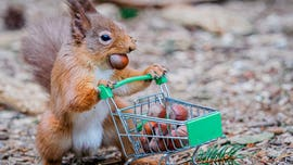 Photographer takes funny snaps of squirrel 'panic buying' nuts, toilet paper