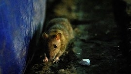 CDC warns of starving, aggressive rats amid COVID-19 garbage shortage