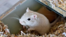 Couple creates art gallery for gerbils during quarantine, complete with rodent-inspired paintings