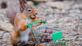 Amusing pictures show squirrel 'stockpiling' nuts, 'panic-buying' toilet paper