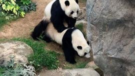 Two giant pandas mate at empty Hong Kong zoo for first time after living together for a decade