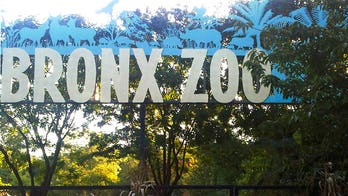 Bronx Zoo tiger tests positive for coronavirus, officials say