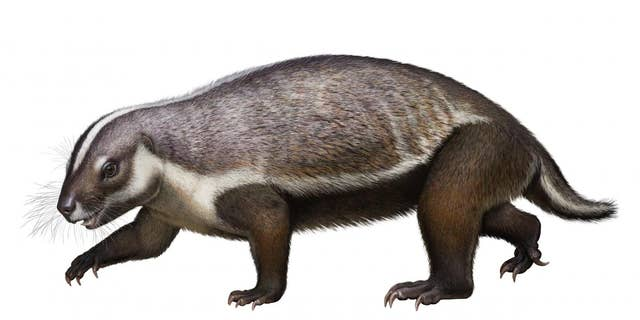 The image was drawn from a complete, 3-dimensional fossil discovered in Madagascar. The unusually large mammal, named Adalatherium, is part of a group of mammals known as gondwanatherians. It lived at the time of dinosaurs, roughly 66 million years ago. (Credit: Denver Museum of Nature & Science/Andrey Atuchin)